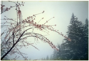 Almond blossoms in early spring snow
