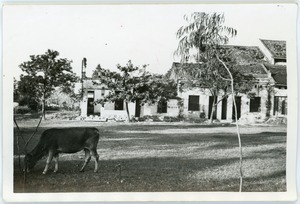 Cow grazing among abandoned buildings, Thái Bình