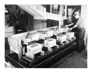 Filling boxes at Tremont Mass 1935