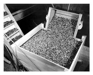 Dumping fruit into seperator at L. B. Barkers Bourndale Mass 1938