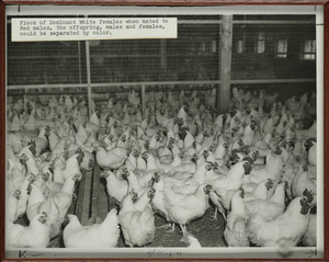 Chickens, Sturtevant Chicken Farm, Halifax, Massachusetts