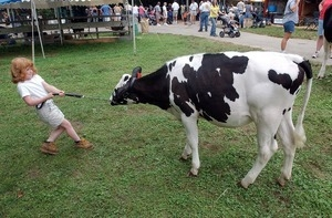 Forty-eight-pound Brittany Ornberg, 6, Westerly, tries to coax her family's Holstein, Lilah, toward the show ring at he Washington County Fair