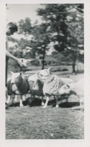 Cheviot sheep owned by Robert Brackley, New Salem Academy Class of 1955