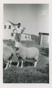 Basil (Cheviot sheep), Aline's son, sold Aug. 5 months, $25: owned by Robert Brackley, New Salem Academy Class of 1955