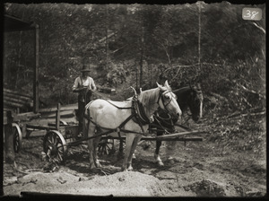 Man with horse team operating in wood lot (Greenwich, Mass.)