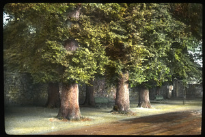 English elms, Winchester, Eng.