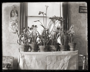 Potted plants, Massachusetts Agricultural College