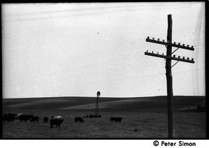 Cattle, electric lines, and windmill in rolling countryside