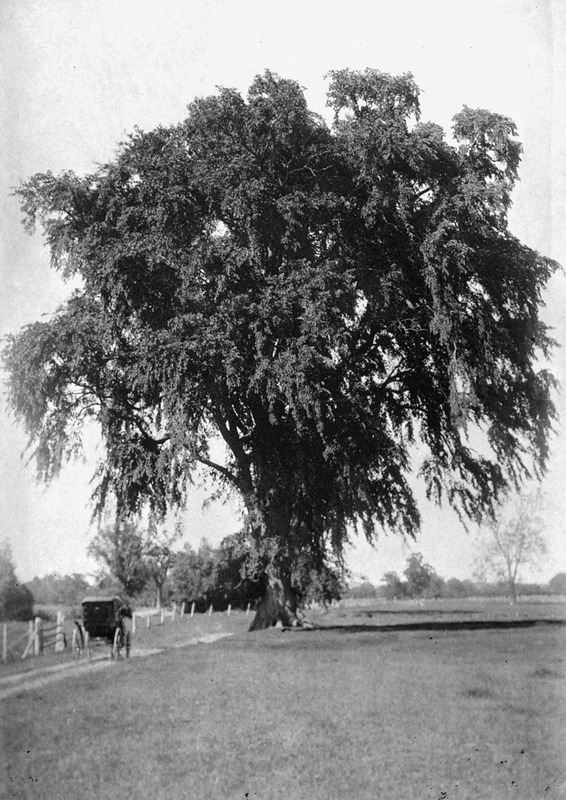 The great elm