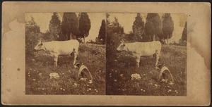Cow and dog in a pasture