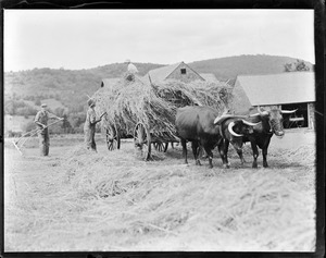 Hay cart pulled by team of oxen