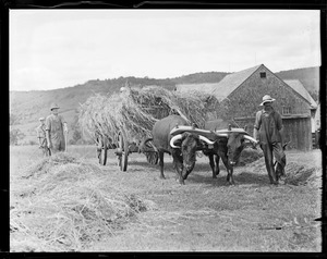 Oxen pulling hay wagon