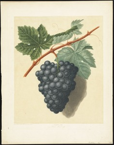 Grapes - Black Hamburgh