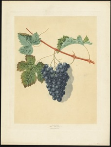 Grapes - Blue Muscandine