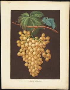 Grapes - Muscat of Alexandria