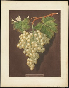 Grapes - White Hamburg