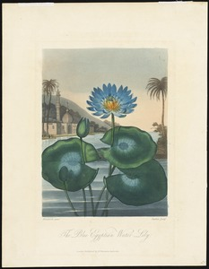The Blue Egyptian Water Lily