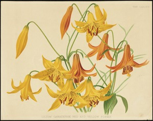 Lilium canadense, red and yellow forms