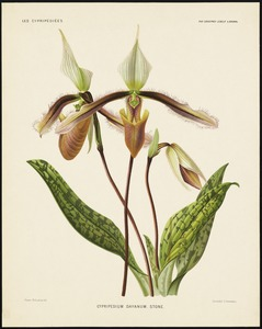 Cypripedium Dayanum