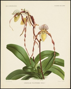 Cypripedium philippinense