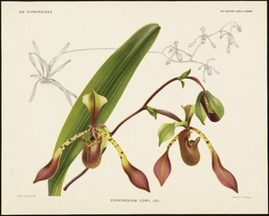 Cypripedium Lowii