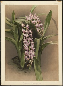 Aerides Savageanum