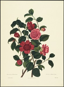 Anemone floweed or waratah camellia, rose color'd or middlemists camellia