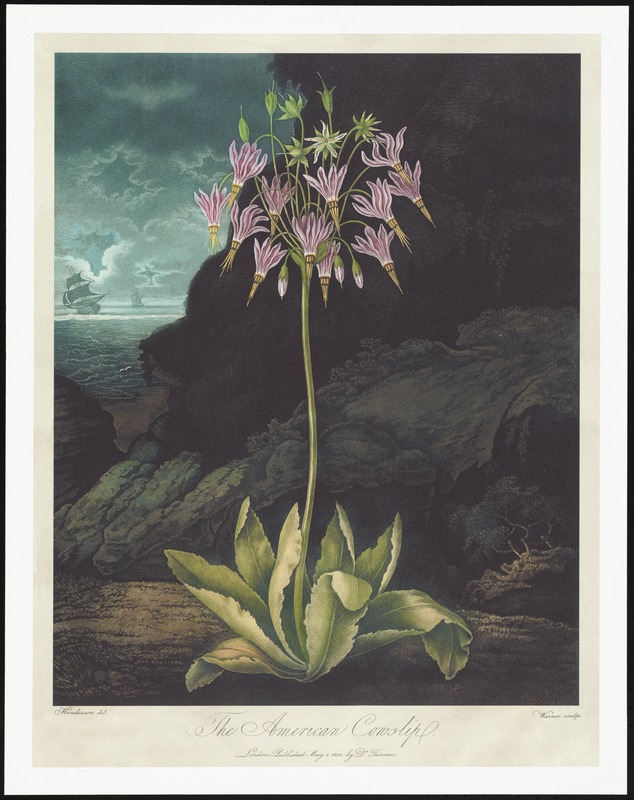 The American cowslip