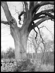 Ulmus americana Massachusetts (Hingham).In the photographic detail of the Cushing Elm (M-10), one of the main branches is clearly severed at the left.