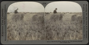 "Harvesting wheat raised by the ""dry farming method,"" Fort Collins, Colo."