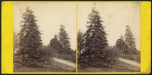 Bramshill Park, Hants. Seat of William H. Cope, Bart. Silver firs