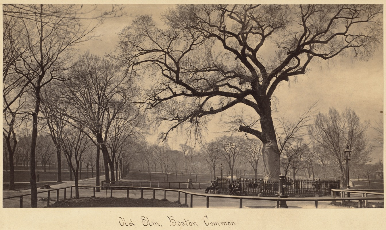 Image result for the old boston common elm tree