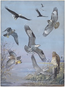 Plate 37: Bald Eagle, Turkey Vulture, Red-tailed Hawk, Duck Hawk, Osprey, Cooper's Hawk, Marsh Hawk