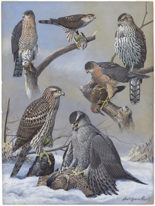 Plate 39: Shart-shinned Hawk, Cooper's Hawk, Goshawk