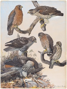 Plate 40: Red-shouldered Hawk, Red-tailed Hawk, Broad-winged Hawk