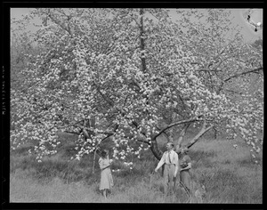 Apple blossoms at Westford, Mass.