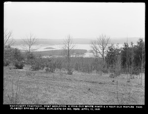 Wachusett Department, Wachusett Reservoir, 8-year-old white pines and 6-year-old maples planted during spring of 1903 (compare with No. 6328), West Boylston, Mass., Apr. 17, 1918