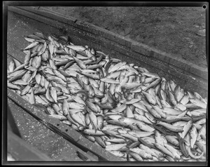 Animals: Herring caught in herring run, Raynham