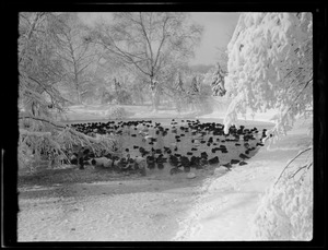 Birds in the snow, Franklin Park