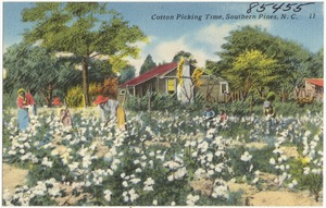Cotton picking time, Southern Pines, N. C.