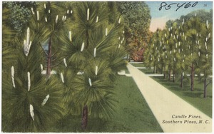 Candle Pines, Southern Pines, N. C.