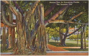 "Banyan tree, St. Petersburg, Florida, ""the sunshine city"""