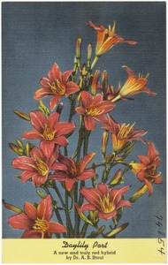 Daylily Port, anew and truly red hybrid by Dr. A. B. Stout