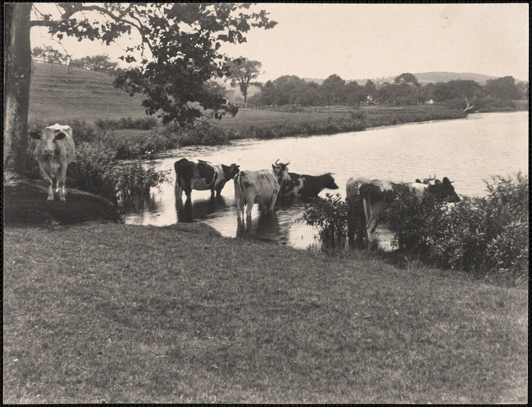 Cows in Baldwin Pond