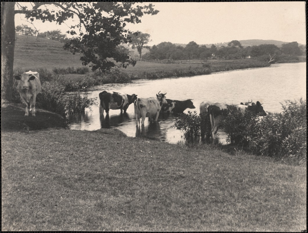 Cows in Baldwin's Pond