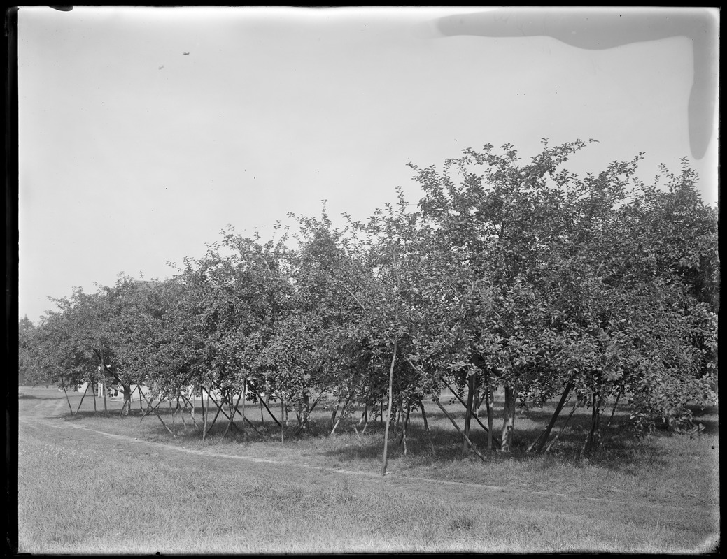Apples, T. Watters