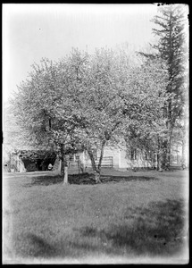 Crab apple trees in bloom, A. E. Emerson