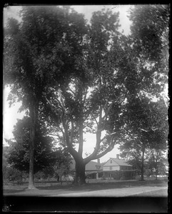 Buttonwood tree