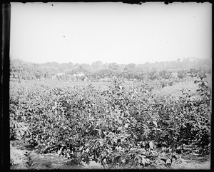 Berry field