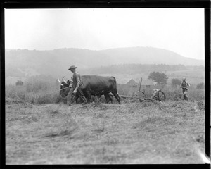 Oxen up in N.H.